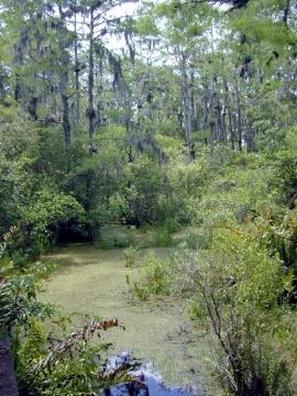 Swamp-- Wikipedia